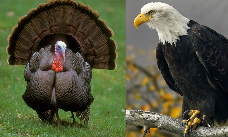 Whats The Better National Bird Turkey Or Bald Eagle Chris Stevenson
